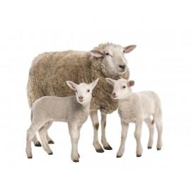 قرص خوران گوسفندی(بلوس خوران گوسفندی)