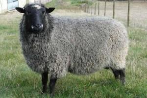 پرورش گوسفند رومانوف